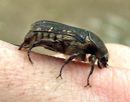 37 - Primer plano coleóptero del Bosque Petrificado Puyango (Ecuador, enero 2013)